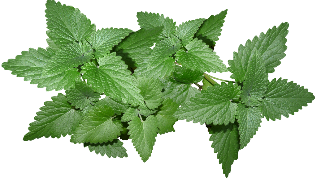 mint leaves